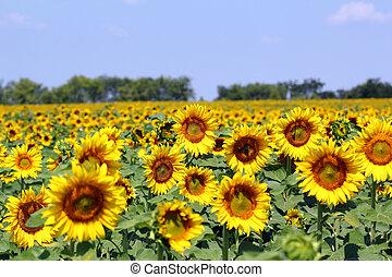 zomer, zonnebloem, seizoen, akker, landelijk landschap