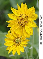 zon, bloemen, in, nationaal park yellowstone