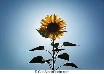zon, op, zonnebloem
