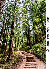 zona, andare, francisco, nord, sequoia, andando gita, nazionale, muir, baia, traccia, segno, scia, legnhe, attraverso, foresta, monumento, california, san
