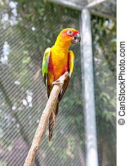 zonconure, papegaai, op, een, boomtak