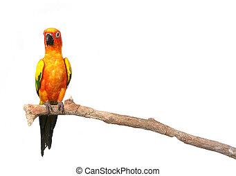 zonconure, papegaai, op een tak, met, de ruimte van het exemplaar