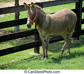 Zonkey part zebra/donkey - rare mix of zebra and donkey...
