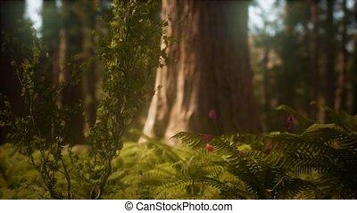 zonlicht, mariposa, morgen, bosje, sequoias, vroeg