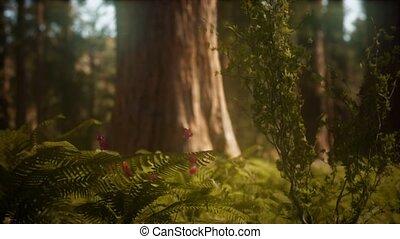 zonlicht, vroeg, bosje, sequoias, mariposa, morgen