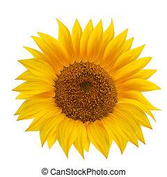 zonnebloem, bloem, vrijstaand, op, white.