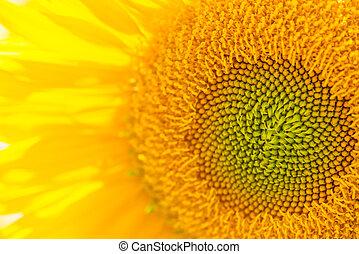 zonnebloem, dichtbegroeid boven