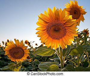 zonnebloem, in, lente, akker