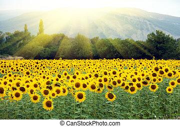 zonnebloem, landscape