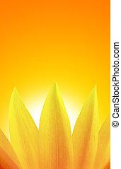 zonnebloem, op, ondergaande zon