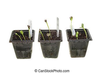 zonnebloem, seedlings