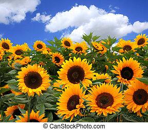 zonnebloem, velden