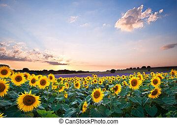 zonnebloem, zomer, ondergaande zon , landscape, met, blauwe...