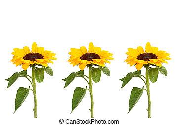 zonnebloemen, achtergrond, witte