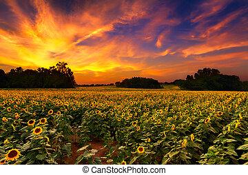 zonnebloemen, ondergaande zon
