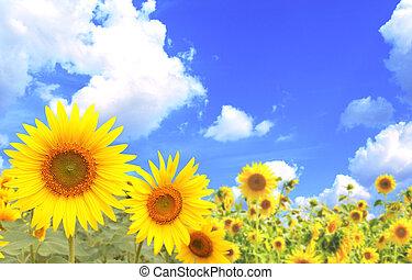 zonnebloemen, op, blauwe hemel, achtergrond