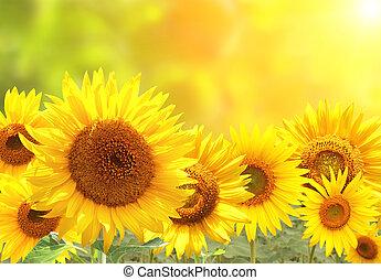 zonnebloemen, op, vaag, zonnig, achtergrond