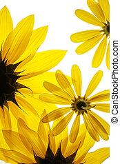 zonnebloemen, op wit, achtergrond