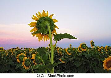 zonnebloemen, schemering