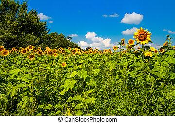 zonnig, zonnebloemen, dag