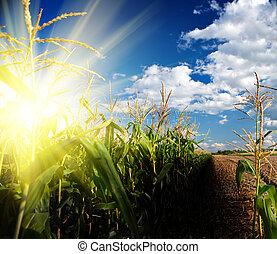 zonopkomst, op, maisveld