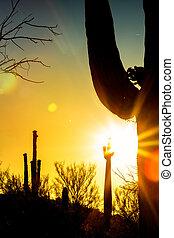 zonopkomst, saguaro, silhouette, cactus, kleurrijke