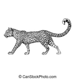 Zoo. African fauna. Puma, leopard, wild cat, coguar, mountain lion. Hand drawn illustration for tattoo design, emblem, badge, t-shirt print. Engraving of wild animal. Classic vintage style image.