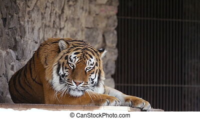 Zoo. An adult tiger resting.