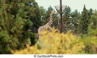 zoo, giraffe walks and eats grass from trough on pole, around fence