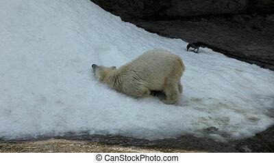 zoo, jeu, neige blanc, ours