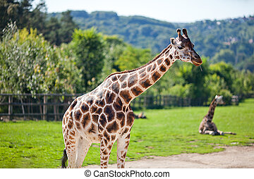 zoo, parc, safari, girafes