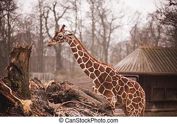 zoo, parc, safari, girafes