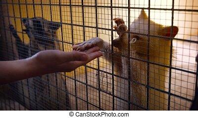zoo, populaire, ratons, public, paire
