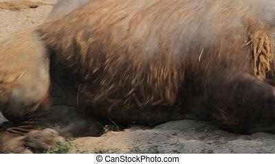 zoo, triste, chameau