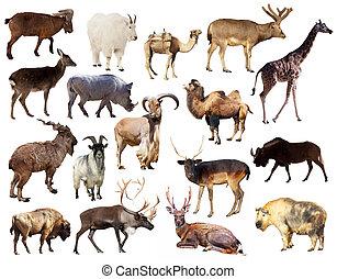 zoogdier, dieren, achtergrond, set, witte , op, artiodactyla