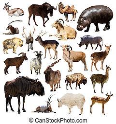 zoogdier, witte , set, dieren, artiodactyla