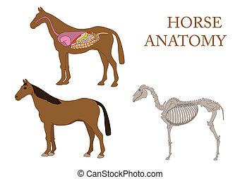 Horse anatomy - internal anatomy of horse close-up.