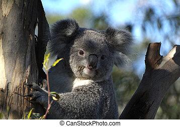 Zoology  - Australia, koala bear in gum tree