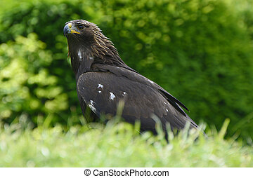 Zoology, Birds - Zoology, golden eagle
