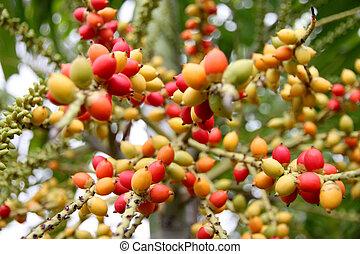 Zoom Areca catechu tree in the garden. - Zoom Areca catechu...