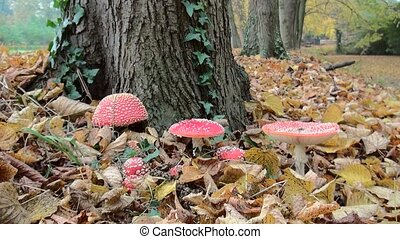 Zoom In on nice Fly Agaric mushrooms. (Amanita muscaria)