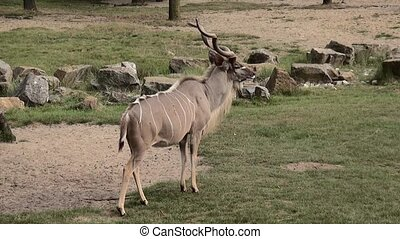 Zoom In to the Kudu.