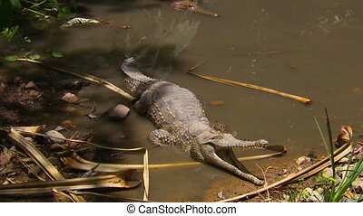 Wide zoom in towards a freshwater crocodile waiting on the edge of a small pond with open jaws