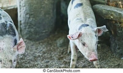 zoom out from two black-spotted white little domestic piggies play in large home pigsty