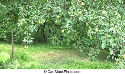 zoom out pear tree in garden and old man in back near trunk....