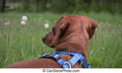 Zooming in on miniature Dachshund i - Zooming in on a...