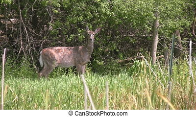 Zooming in on white tailed deer in - Zooming in on a...