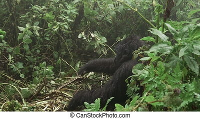Zooming in to mountain gorilla feeding in the forest - Zoom...