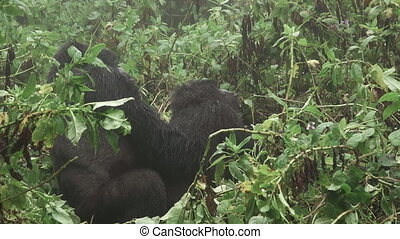 Zooming into mountain gorilla couple loving moment - Zoom...