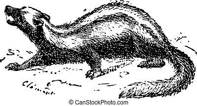 Zorilla or Striped polecat, vintage engraving. - Zorilla or...